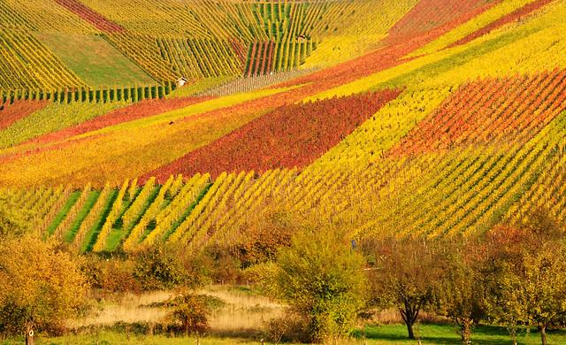 Autumn Vineyard Panorama