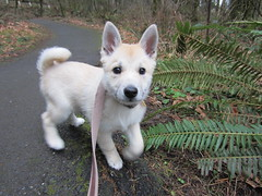 dog breed, animal, west siberian laika, dog, canaan dog, pet, norwegian buhund, white shepherd, east siberian laika, kishu, northern inuit dog, korean jindo dog, norwegian lundehund, carnivoran,