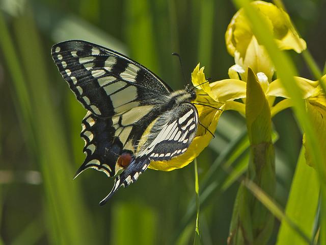 Swallowtail (Papilio machaon) on Flag iris