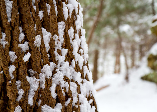 Bark and Snow II