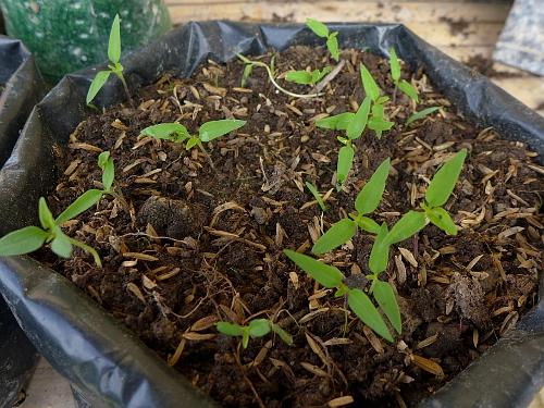 Sili Labuyo Sprouts