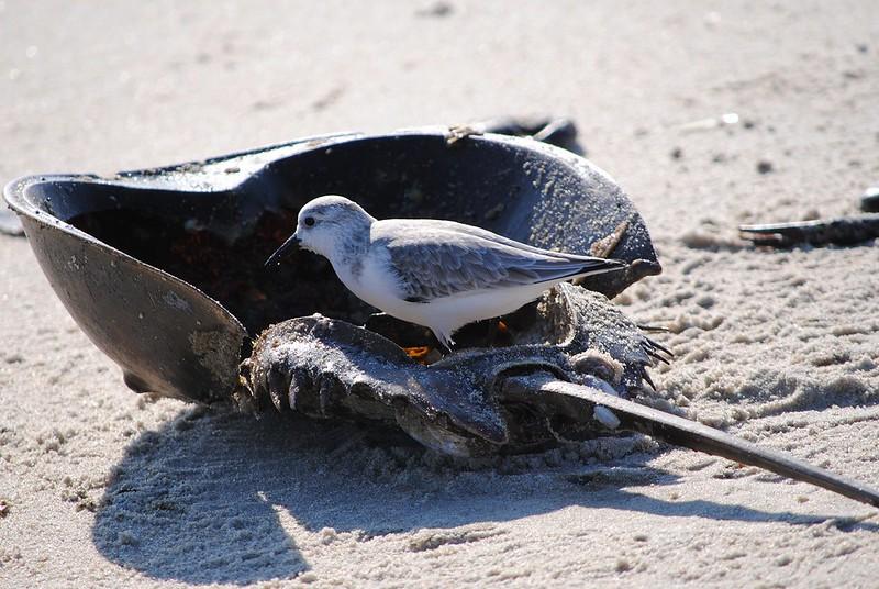 Песчанка (Sanderling)