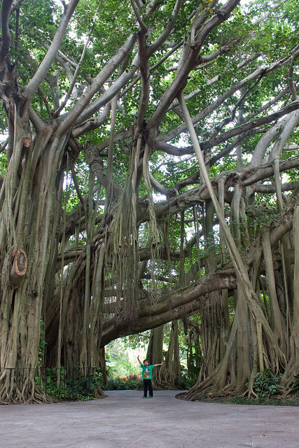 Cypress Gardens Florida Banyan Tree