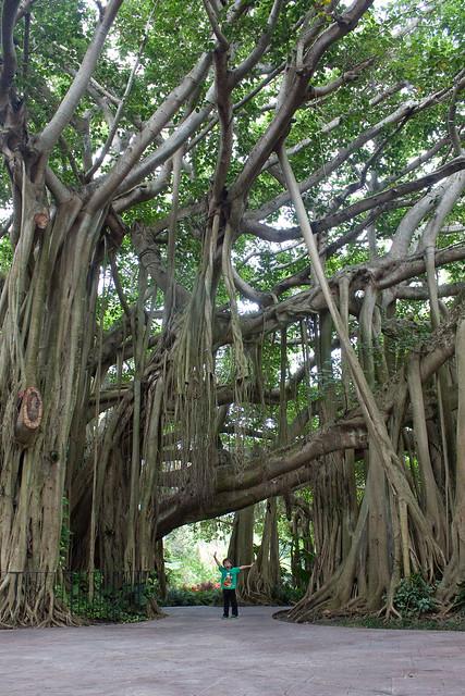 Cypress Gardens Florida Banyan Tree