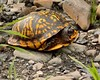 Eastern Box Turtle  by ChrysDarlington