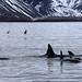 Orcas (Peter Dunn)