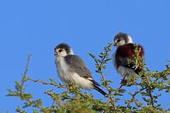 Falconidae