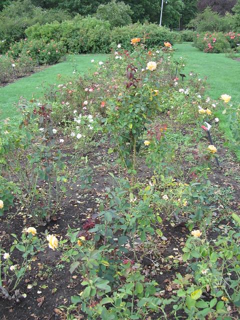 Maplewood Rose Garden Rochester New York Flickr Photo Sharing