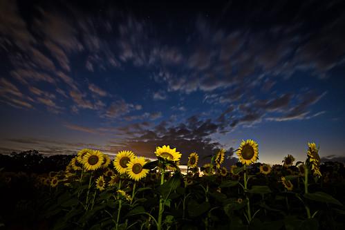 night unitedstates cloudy maryland poolesville mckeebesherswildlifemanagementareasunflowersmarylandmd