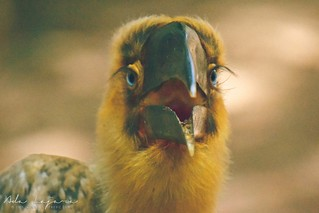 Young hornbill