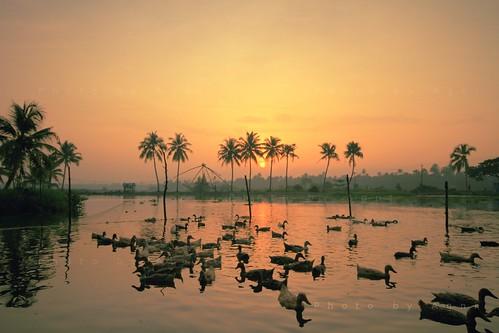wallpaper sunrise ducks kerala goodmorning kochi coconuttrees agni waterlake agnimax varappuzha kadamakkudi somchaicar