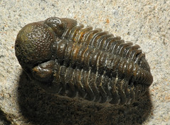 animal, trilobite, invertebrate, insect, fauna,