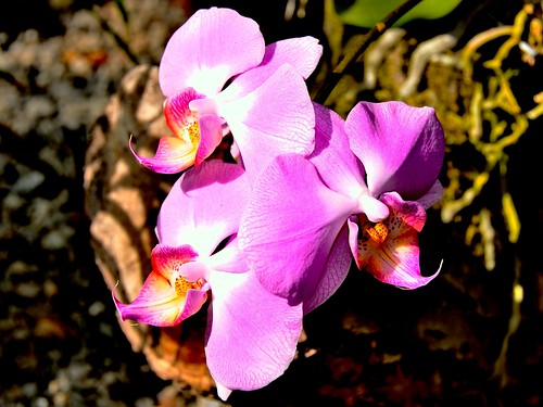 newyorkcity orchids bronx botanicalgardens orchidshow wavehill