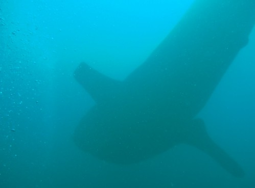 Whale Shark, Isla Coiba