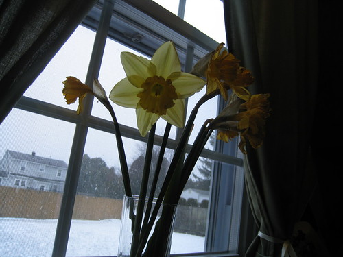 Winter daffodils