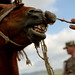 Veterinarians with the Mongolian Border Forces tries to coral a horse for a pregnancy check in northeastern Mongolia near the Russian border. A small harmless rope is tied around the horse's nose to help control the animal. (U.S. Air Force photo/Master Sgt. Jeremy T. Lock)