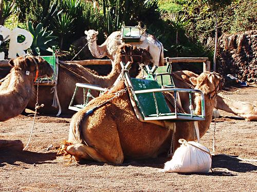 Camels El Tanque
