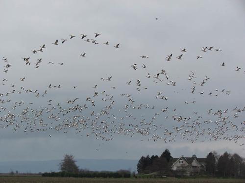 Skagit Birding