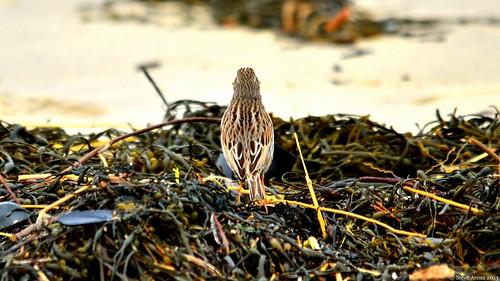 bird sparrow ipswich songbird ipsp ipswichsparrow ipswichsavannahsparrow