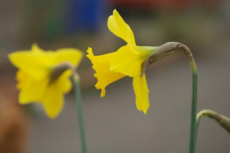 daffodil  3329