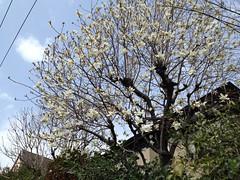 13318中目の桜