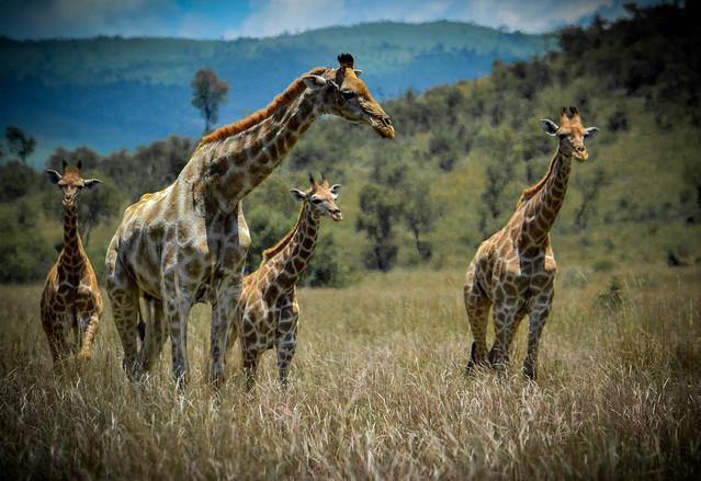 giraffe family flickr photo sharing