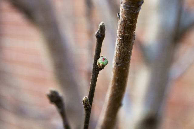 Peach tree bud