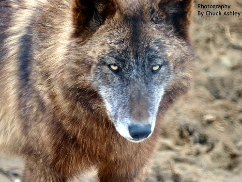 2013-03-24 Fur-Ever Wild Wolves-W 187 by puckster55pics