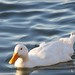 Small photo of White Duck on Almaden Lake