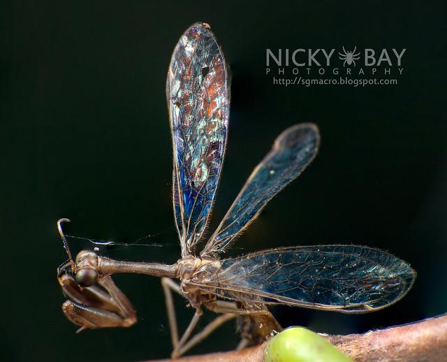 Mantidfly (Mantispidae) - DSC_9543