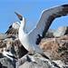 Nazca Booby Española Galápagos tagged by peterleanranger