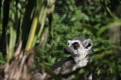 London Zoo - Lemur
