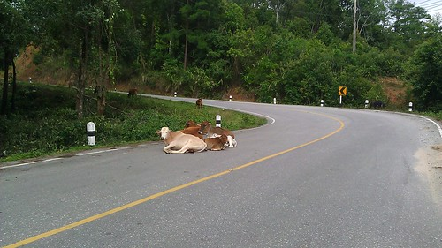 cows in road thailand