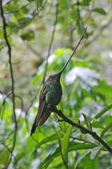 Sword-billed hummingbird (Ensifera ensifera) at Guango Lodge, Ecuador.