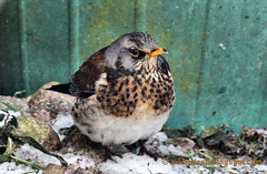 Fieldfare in the Garden