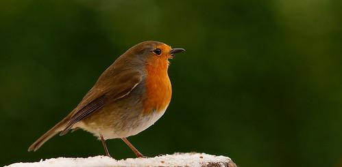 Hungry Robin (1)