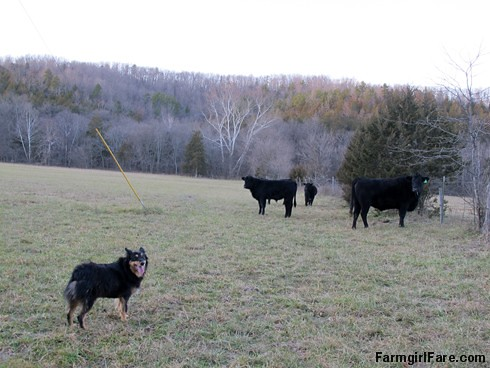 Lucky Buddy Bear, ace cattle dog (6) - FarmgirlFare.com
