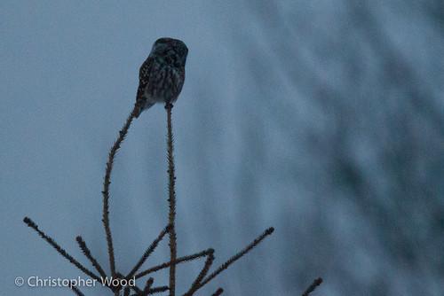 bird minnesota animal us owls borealowl aegolius stlouiscounty aegoliusfunereus