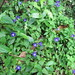 Small photo of Ground cover flowers (Torenia)
