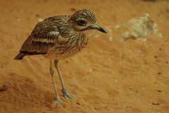 animal, wing, fauna, close-up, calidrid, sandpiper, beak, bird, wildlife,
