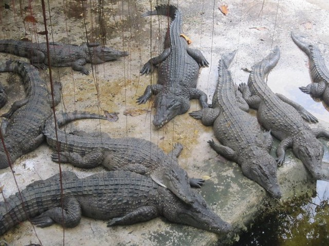 Crocodile-Farm-in-Palawan-Philippines