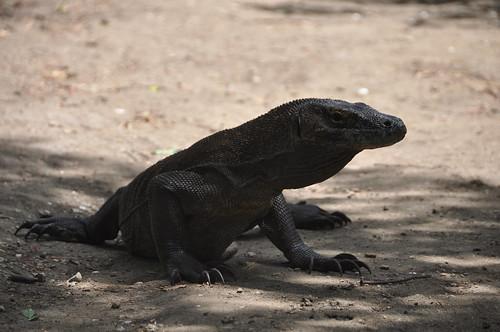 park flores tongue indonesia island volcano asia dragon south dragons east lizard national volcanic komodo rinca