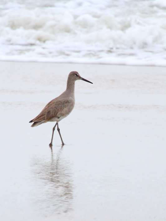 012313_01_elkSloBeach20_willet