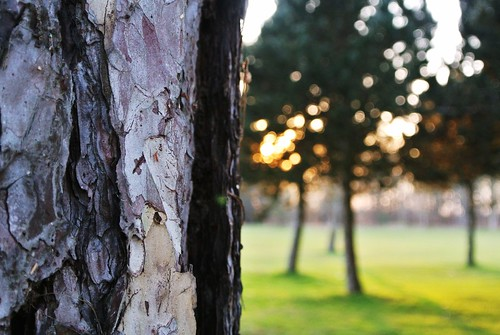 wood trees sunset sunlight tree grass closeup bark oils j1 monkswoodandmiltongolfcourse