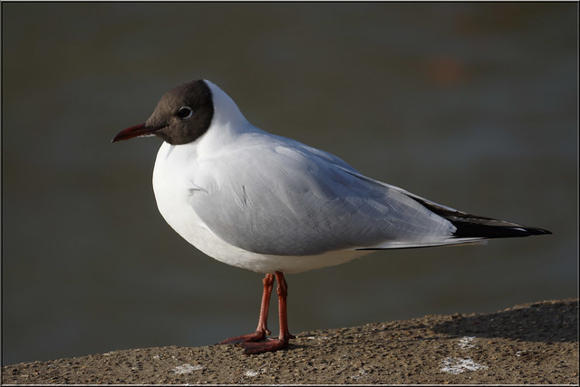 Seagull is exiled to a rocky new home out to sea  Daily