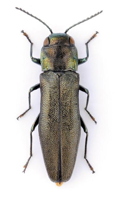 Agrilus japanocarinatus