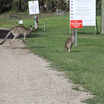 Kangaroos at the Oakvale Cellars
