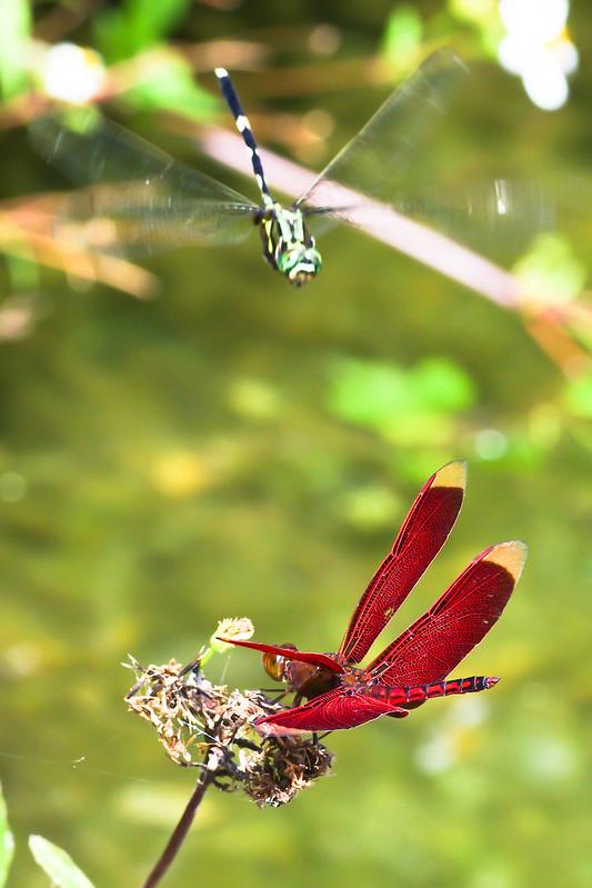 蜻蜓快來讓我練習微距