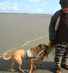 A hunter attracts a young dog using only the scent of kelp, beach, blue sky, fatigues, Ocean Shores, Washington, USA