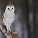 Barn Owl 19 by Jen St. Louis